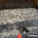 Loading Oyster shells with Backhoe